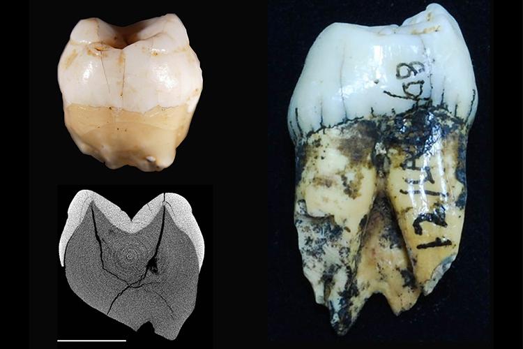 Temuan gigi yang menandai tempat tinggal manusia di gua Lida Ajer di Sumatera (kiri) dengan gigi orangutan untuk perbandingan