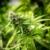 Microsoft Akan Bantu Teknologi untuk Industri Bisnis Mariyuana?